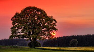 Old Oak at Sunset