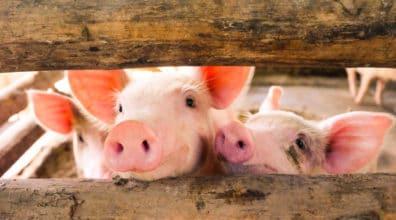 ANVR waarschuwt voor varkenspest