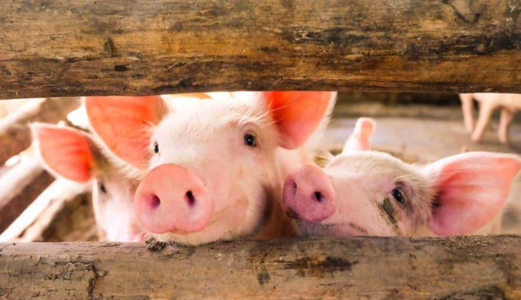 ANVR: 'Reisbedrijven, help varkenspest voorkomen'